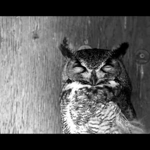 Horned Owl-BW-Small