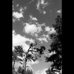 Redwood-BW-small