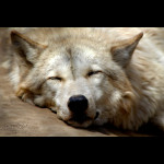 Timber Wolf-3 small