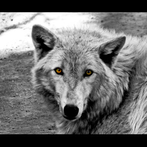 Timber Wolf-4 small2
