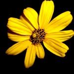 flower spider 1