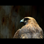redtail-1small